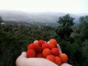 خيرات لله من فاكهة ساسنوالغابيه والتي تنمو بكثره في جبال تازه باعالي بوراوي بلهادف ولاية جيجل
