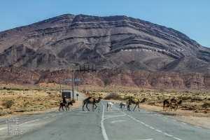 Dromadaires dans la région de Assela (Wilaya de Naama)