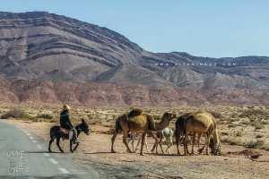L'élevage du dromadaire dans la région d'Assela (Wilaya de Naama)