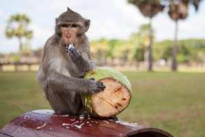 Planète (Pandémie corona virus) - Certaines espèces, devenues dépendantes des humains, se trouvent fort dépourvues, comme les singes.