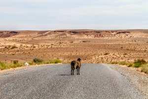 Certains moutons s'égarent (Nord El Bnoud)