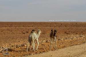 Petits dromadaires sur la Route d'El Benoud - Tinerkouk
