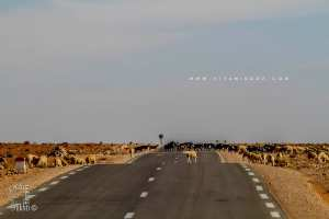 La région d'El Bnoud est riche en cheptel