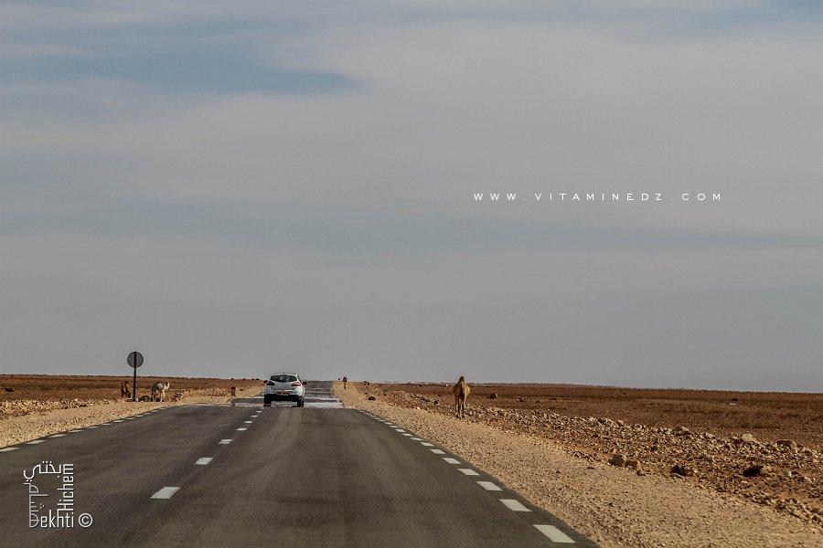 Troupeaux de chameaux Sur la route nationale RN118 (El Bnoud - Tinerkouk)