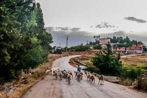 Troupeau de moutons rentrant au village d'El Mefrouche.