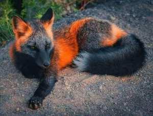 Le renard de feu...