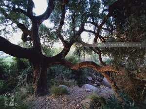 Chêne liège dans la forêt de Zarifet