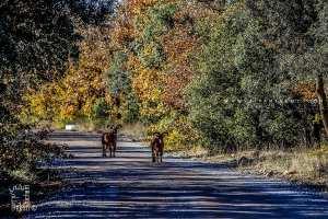 Mouflons à manchette lachés dans la réserve de chasse de Moutas (Tlemcen)