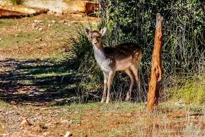 Petit faon de Gazelle de Cuvier (Réserve naturelle de Moutas - Tlemcen)