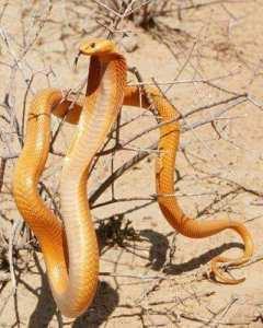 Serpent dans sahara