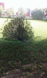 فرخ طاووس