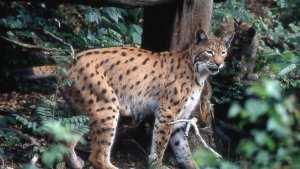 Planète/Europe/FranCe - Lynx: 1.000 euros de récompense pour retrouver un braconnier