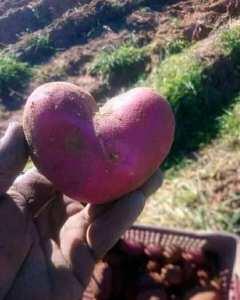 بطاطا على شكل قلب