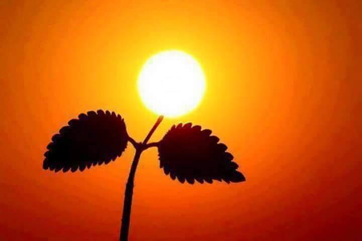 وردة الشمس