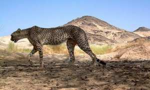 le guépard du Tassili