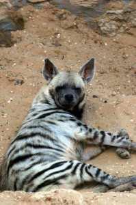 Tipaza- L'hyène rayée