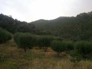 بستان لاشجار التفاح وسط جبال شليا