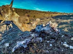 Vieux chêne mort mais qui recèle des trésors insoupçonnées
