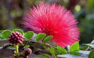 Plantes et fleurs du jardin 19 -Arbre aux houppettes (Calliandra eriophylla), aux plumets rouges