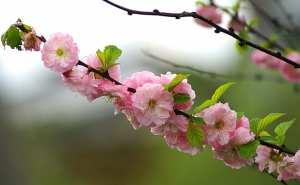 Plantes et fleurs du jardin 21 -Amandier de Chine (Prunus triloba), floraison rose spectaculaire