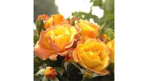 Les rosiers soleil au monde