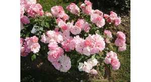 Les rosiers à fleurs groupées