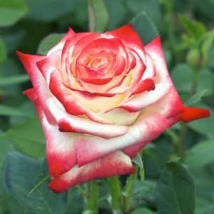 Le rosier Impératrice Farah