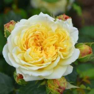 Le rosier Nelson Monfort