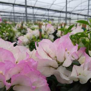 Le Bougainvillea spectabilis Blanc-rose