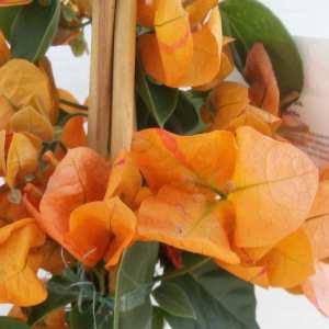 Le Bougainvillea spectabilis Orange