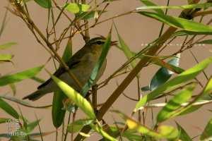 Ce petit oiseau jaune s'est pointé dans mon jardin : Un verdier d'Europe?