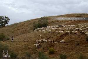 Berger et son troupeau à la commune de l'Emir Abdelkader