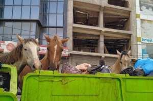 ARRÊT SUR IMAGE - VU À CHÉRAGA (Alger): Des chevaux s'alimentent dans les poubelles