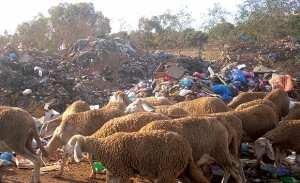 ARRÊT SUR IMAGE - Vu à Belgaïd (Bir El Djir/Oran): Un troupeau de moutons se nourrissant dans une décharge