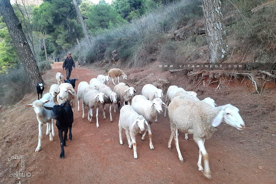Petit troupeau de mouton et chèvres à la forêt de Tlemcen