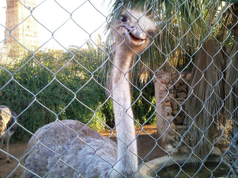 Sourire d 39 une autruche zoo de tlemcen tlemcen - Poids d une autruche ...