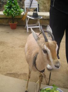 Petite Gazelle du Désert à Guelma