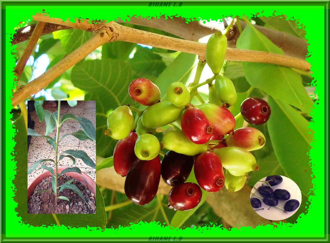 arbre fruitier syzygium cumini jamblon. Black Bedroom Furniture Sets. Home Design Ideas