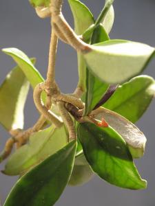 Hoya carnosa « hoya cireux » ou « fleur de porcelaine » (Wilaya d'El oued)