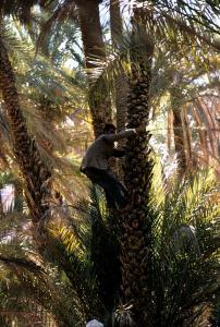Fécondation des Dattiers à El Oued