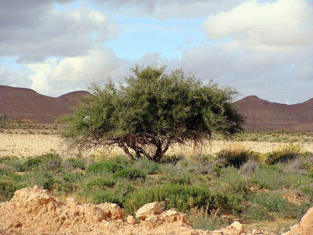 Zizyphus spina-christi ou le jujubier (Wilaya d'El Oued)