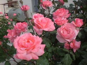 Rose de la Mitidja (Tipaza)
