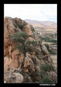 شجرة زيتون فوق تل سيدي عبد القادر