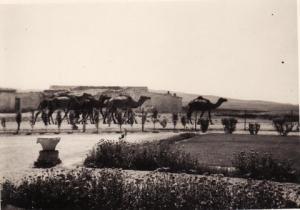 صورة قديمة لتربية الإبل بمنطقة شرية