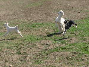 جديان صغيرة تلعب في الحقول الخضراء