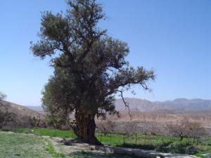 L'olivier blanc dans la commune de Tkout (Wilaya de Batna)