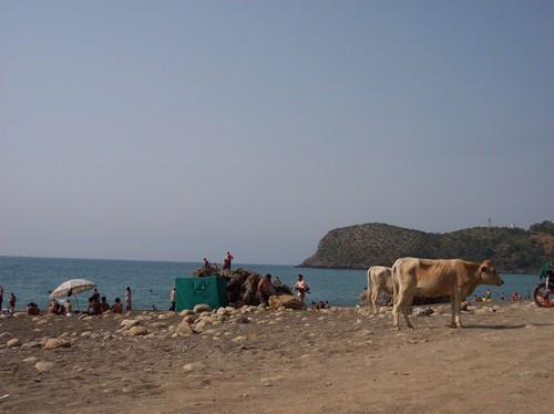 Une vache se promenant sur la C�te de Ziama Mansouriah
