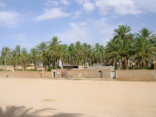 Une palmeraie de la commune de Ouled Djellal
