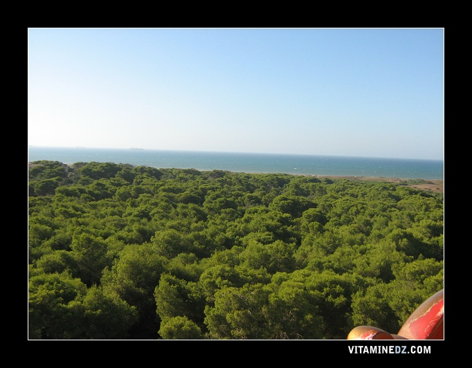 أشجار الصنوبر البحري