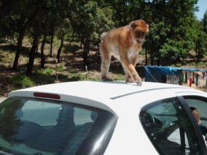 Un singe qui s'y connait en carrosserie )